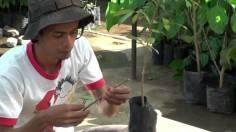 kesulitan cara mencangkok pohon mangga