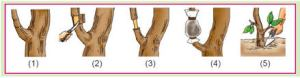 cara mencangkok pohon mangga mudah