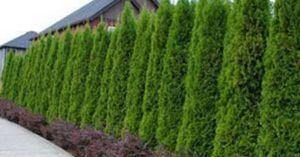 tanaman pagar hidup untuk rumah