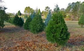 tanaman pagar hidup pohon cedar