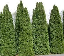 tanaman pagar hidup cedar
