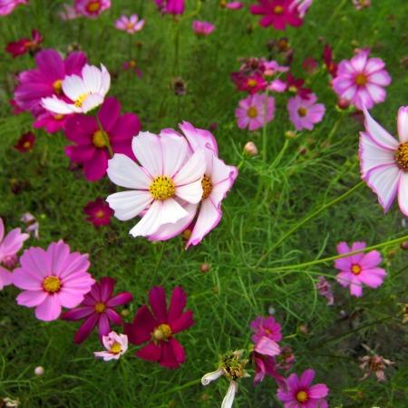 warna-warni bunga cosmos