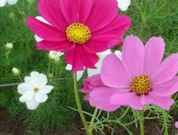 cantiknya bunga cosmos