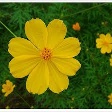 bunga cosmos menawan