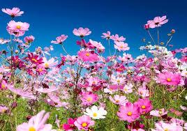 bunga cosmos warna-warni
