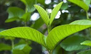 manfaat daun jambu bagi rambut
