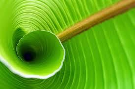 manfaat tersembunyi daun pisang