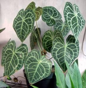 tanaman hias Kuping gajah cantik