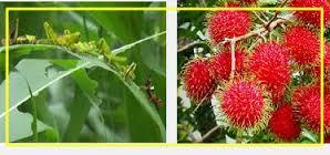 pengendalian hama dan penyakit tanaman rambutan
