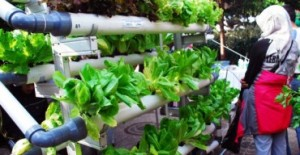 budidaya tanaman hidroponik
