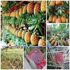 budidaya tanaman buah nanas
