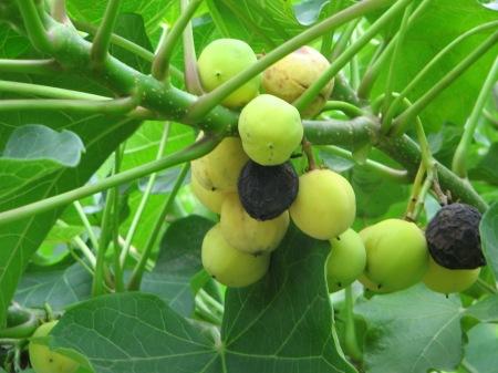manfaat buah jarak untuk kesehatan
