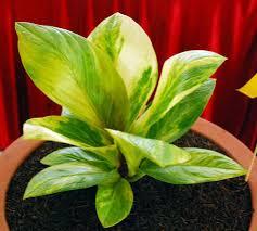 tanaman hias anthurium jemani