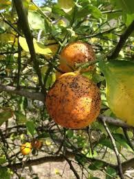 hama dan penyakit tanaman jeruk