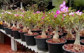 peluang usaha bunga kamboja
