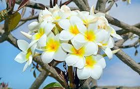 manfaat bunga kamboja dalam