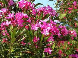 khasiat bunga kamboja jib