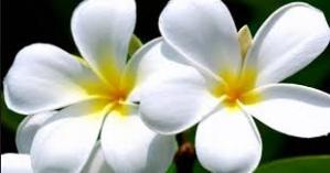 macam-macam jenis kamboja white