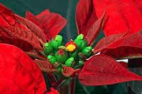 Kastuba (Euphorbia pulcherrima)