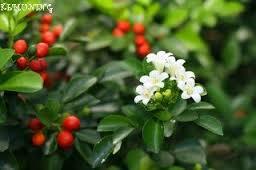 Tips dan cara merawat bunga kemuning