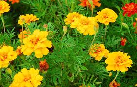 Manfaat Daun Marigold bawah