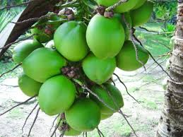 manfaat kelapa hijau