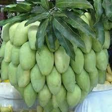 cara agar pohon mangga berbuah lebat