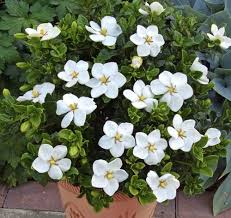 bunga melati cantik