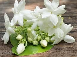 indahnya bunga melati