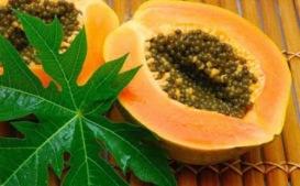 tanaman herbal untuk mengobati sakit maag,pepaya