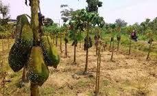 hama dan penyakit tanaman pepaya