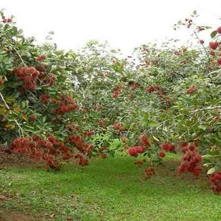 cara budidaya tanaman buah rambutan