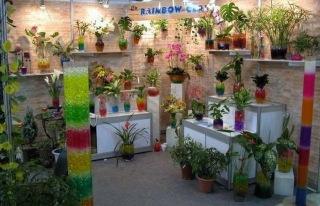 manfaat tanaman hias sri rejeki, bisnisi