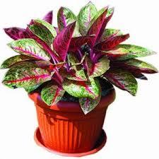 hama dan penyakit yang menyerang tanaman sri rejeki