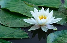 perbedaan bunga seroja dan bunga teratai