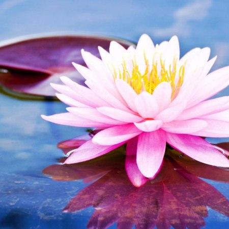 Indahnya Bunga Teratai