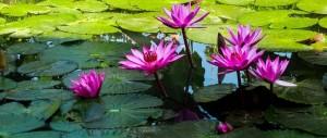 Indahnya Bunga Teratai ku