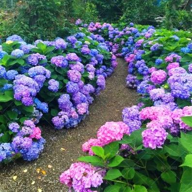 Bunga hydragea