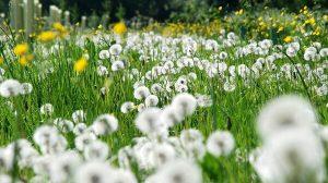 bunga dandellion