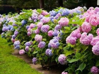 Bunga hydragea oink biru ungu