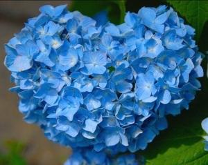 bentuk hydragea biru