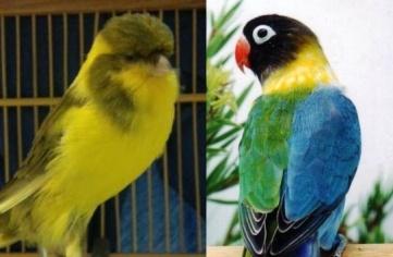 kenari dan lovebird