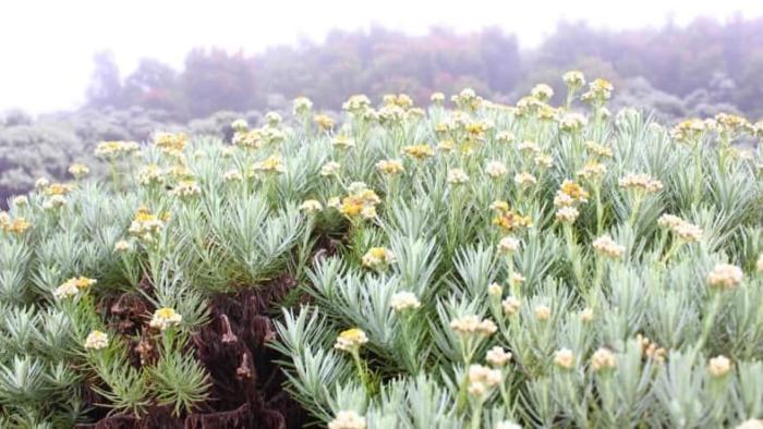 tumbuhan unik edelweis